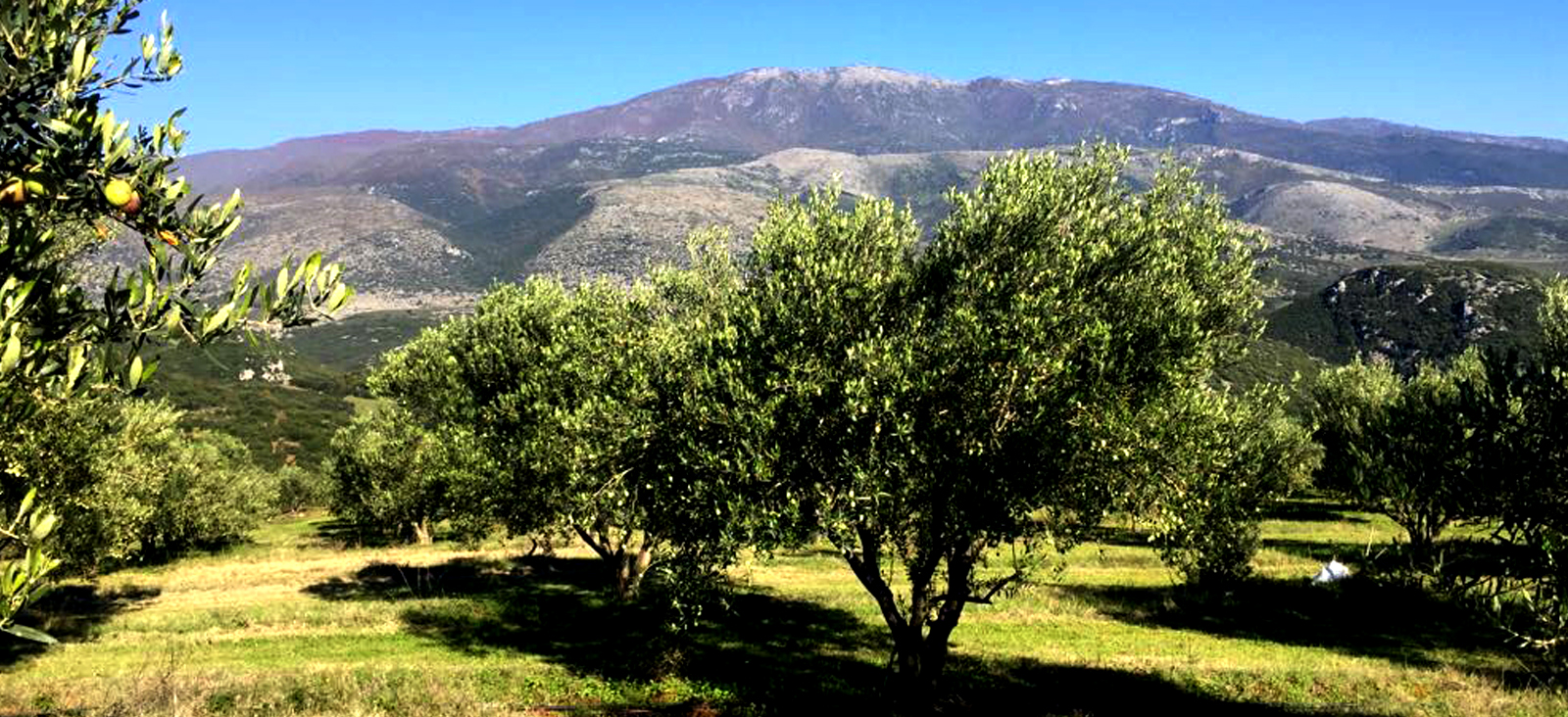 Olivenbäume in Griechenland
